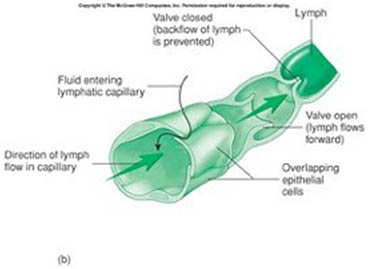 Your Lymphatic System