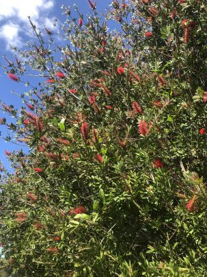 Photo From: Red Bottlebrush Hydrosol – Grown and distilled by me in Maui